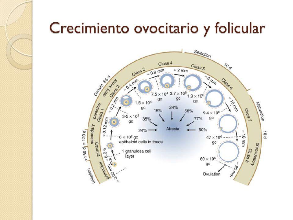 Crecimiento ovocitario y folicular