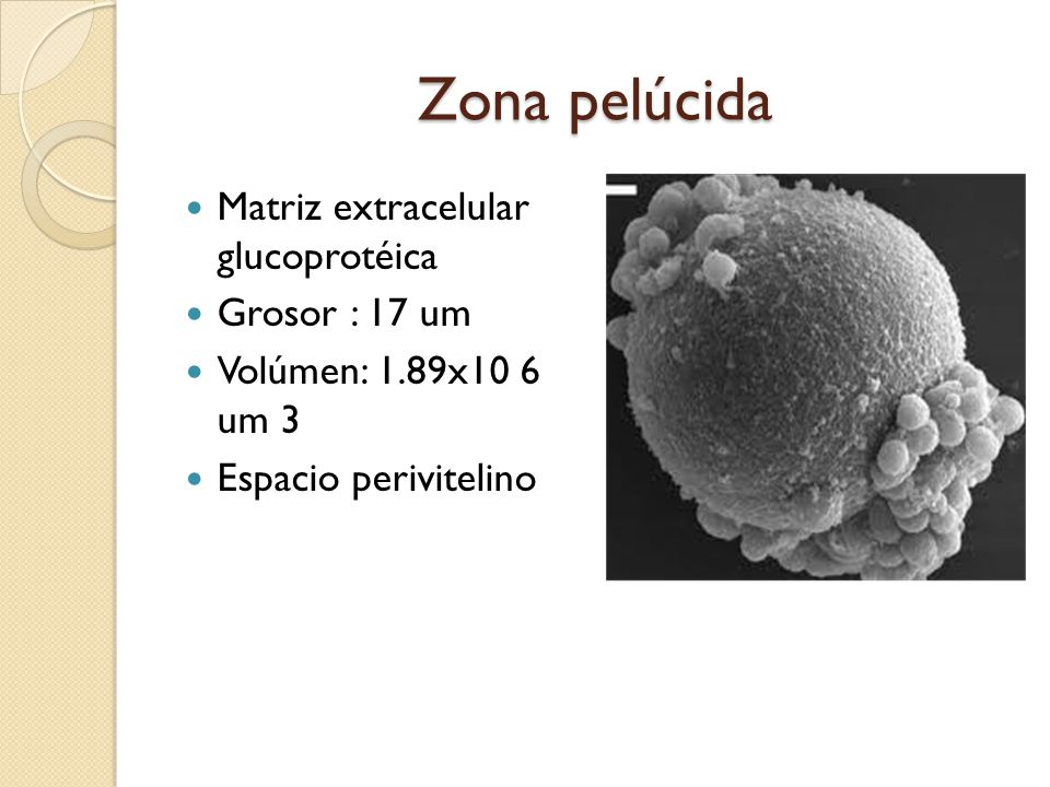 Zona pelúcida Matriz extracelular glucoprotéica Grosor : 17 um