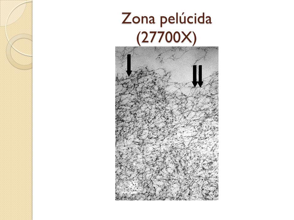 Zona pelúcida (27700X)