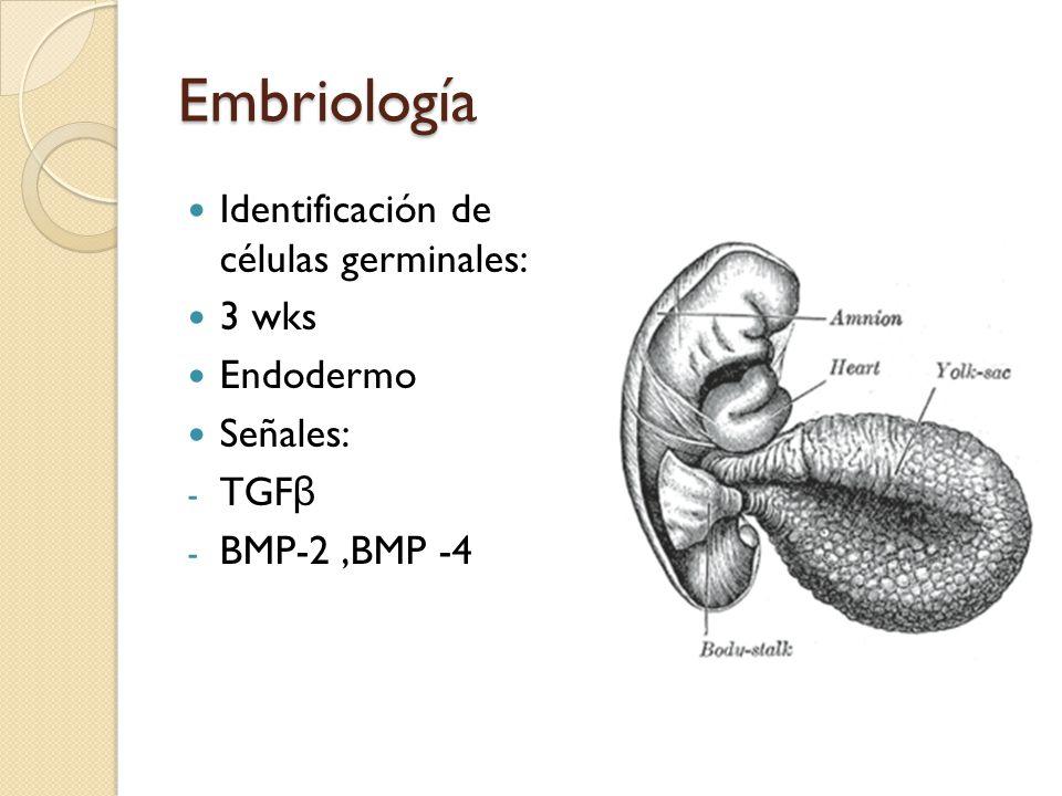Embriología Identificación de células germinales: 3 wks Endodermo
