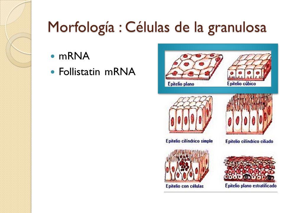 Morfología : Células de la granulosa