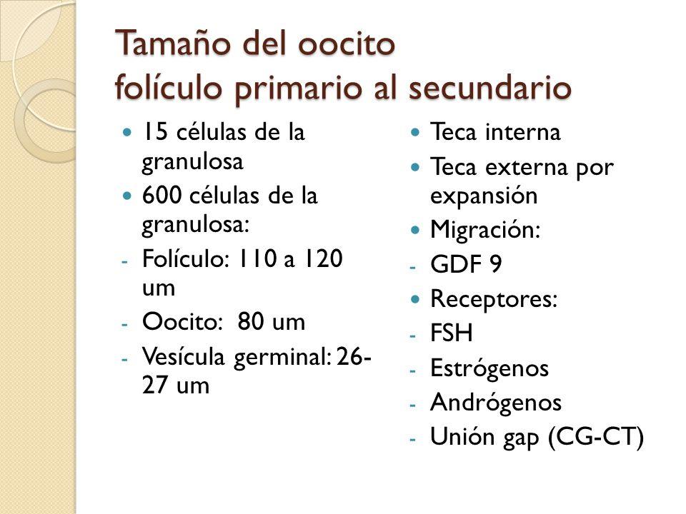 Tamaño del oocito folículo primario al secundario