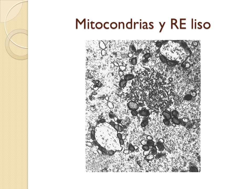 Mitocondrias y RE liso
