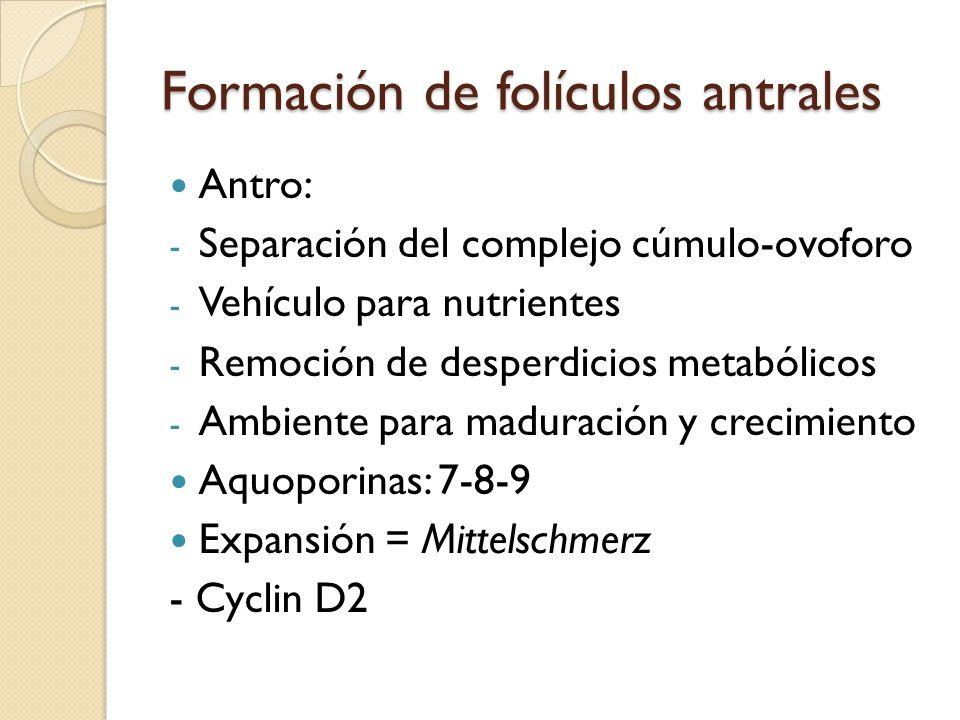 Formación de folículos antrales
