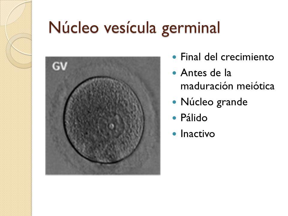 Núcleo vesícula germinal