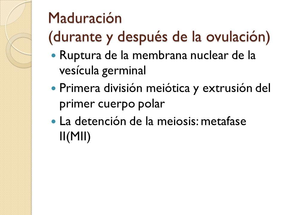 Maduración (durante y después de la ovulación)