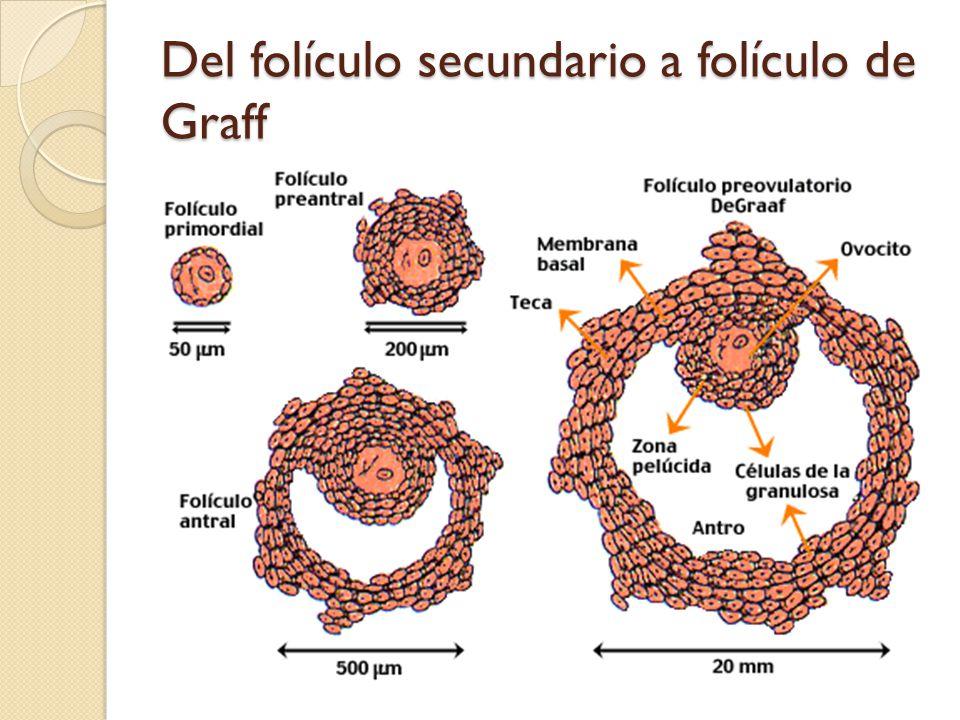 Del folículo secundario a folículo de Graff