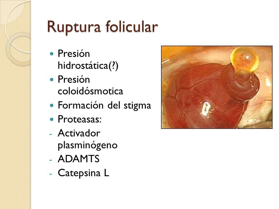 Ruptura folicular Presión hidrostática( ) Presión coloidósmotica