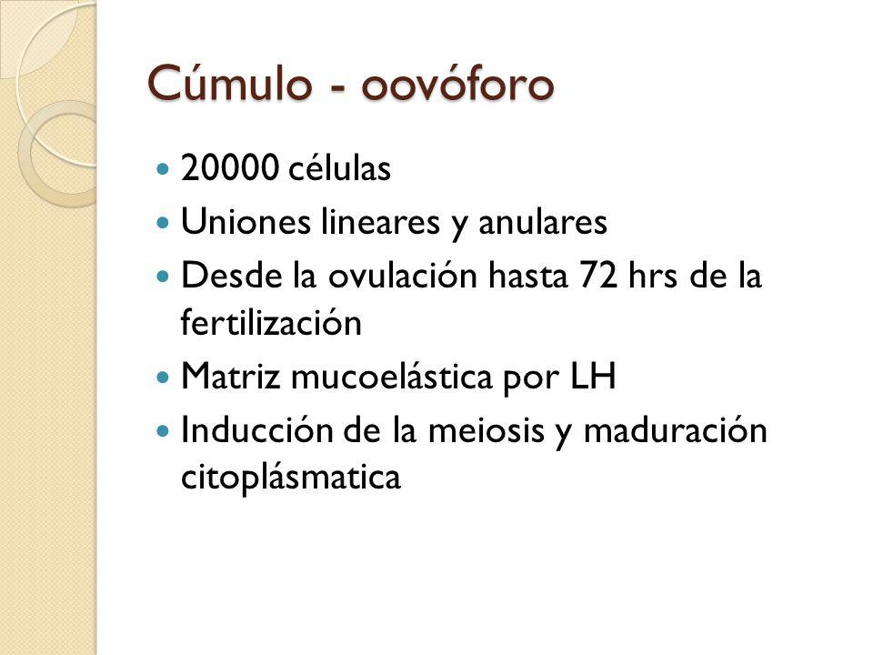 Cúmulo - oovóforo 20000 células Uniones lineares y anulares