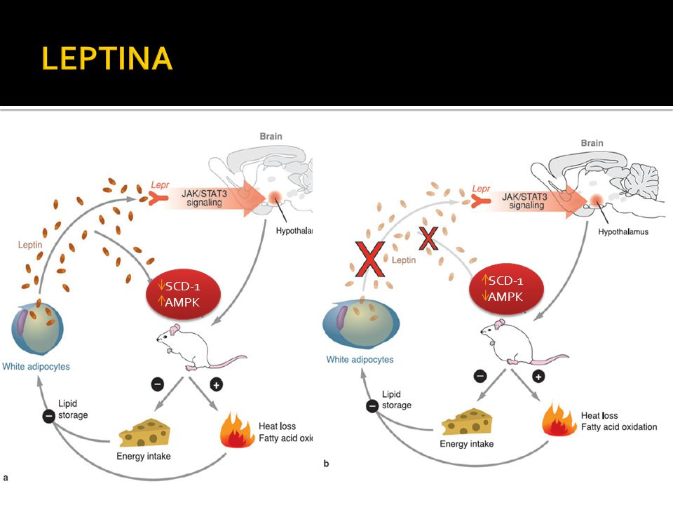LEPTINA SCD-1 SCD-1 AMPK AMPK