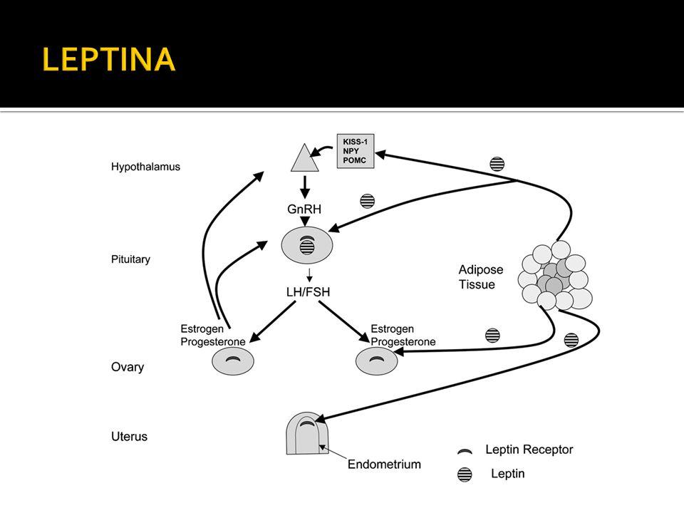LEPTINA Cuando los almacénes de energía son adecuados, leptina estimula GnRH de forma indirecta a través de kisspeptina, neuropeptido y y POMC.