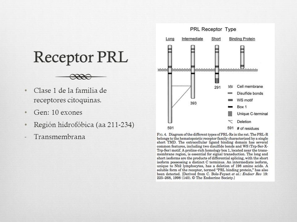 Receptor PRL Clase 1 de la familia de receptores citoquinas.