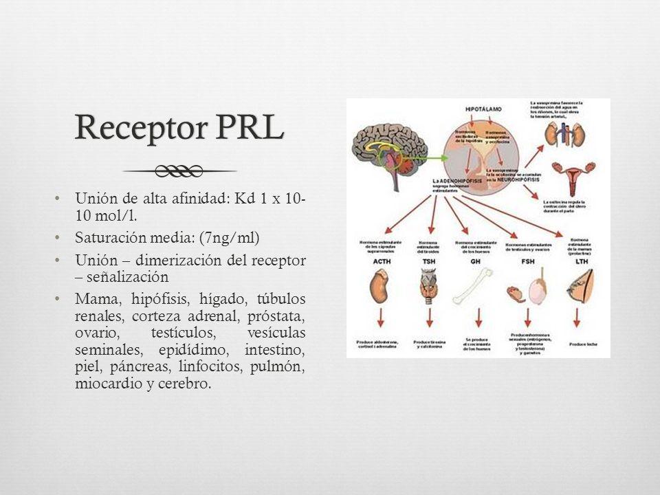 Receptor PRL Unión de alta afinidad: Kd 1 x 10- 10 mol/l.