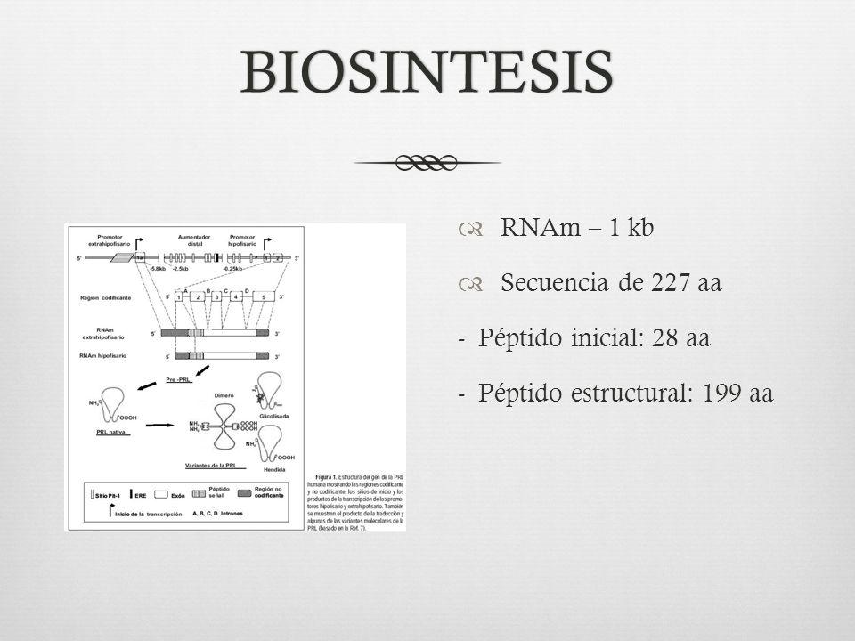 BIOSINTESIS RNAm – 1 kb Secuencia de 227 aa - Péptido inicial: 28 aa
