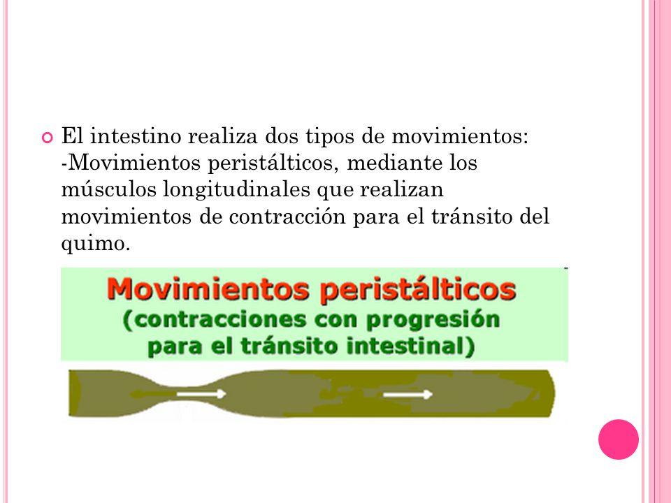 El intestino realiza dos tipos de movimientos: -Movimientos peristálticos, mediante los músculos longitudinales que realizan movimientos de contracción para el tránsito del quimo.