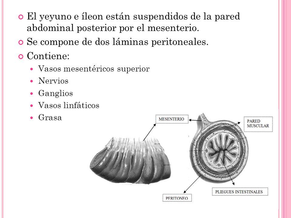 Se compone de dos láminas peritoneales. Contiene: