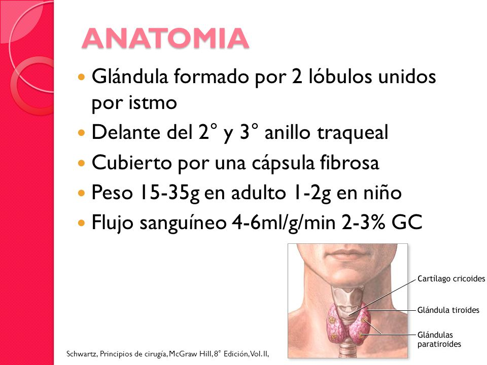 ANATOMIA Glándula formado por 2 lóbulos unidos por istmo