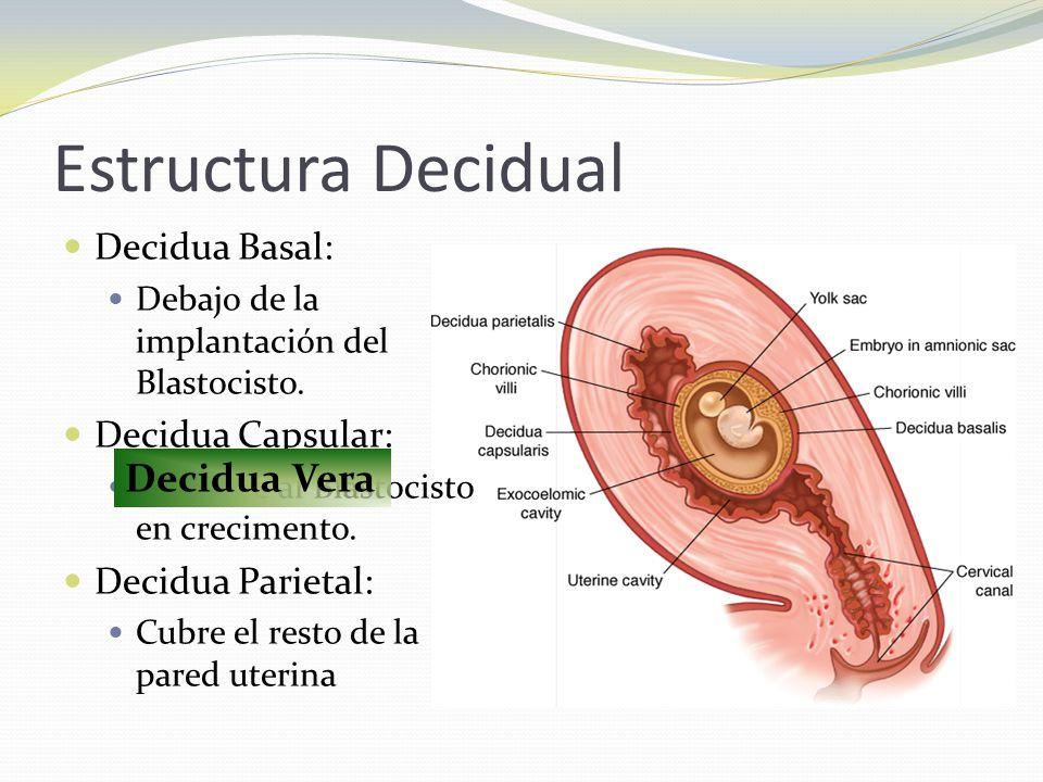 Estructura Decidual Decidua Vera Decidua Basal: Decidua Capsular: