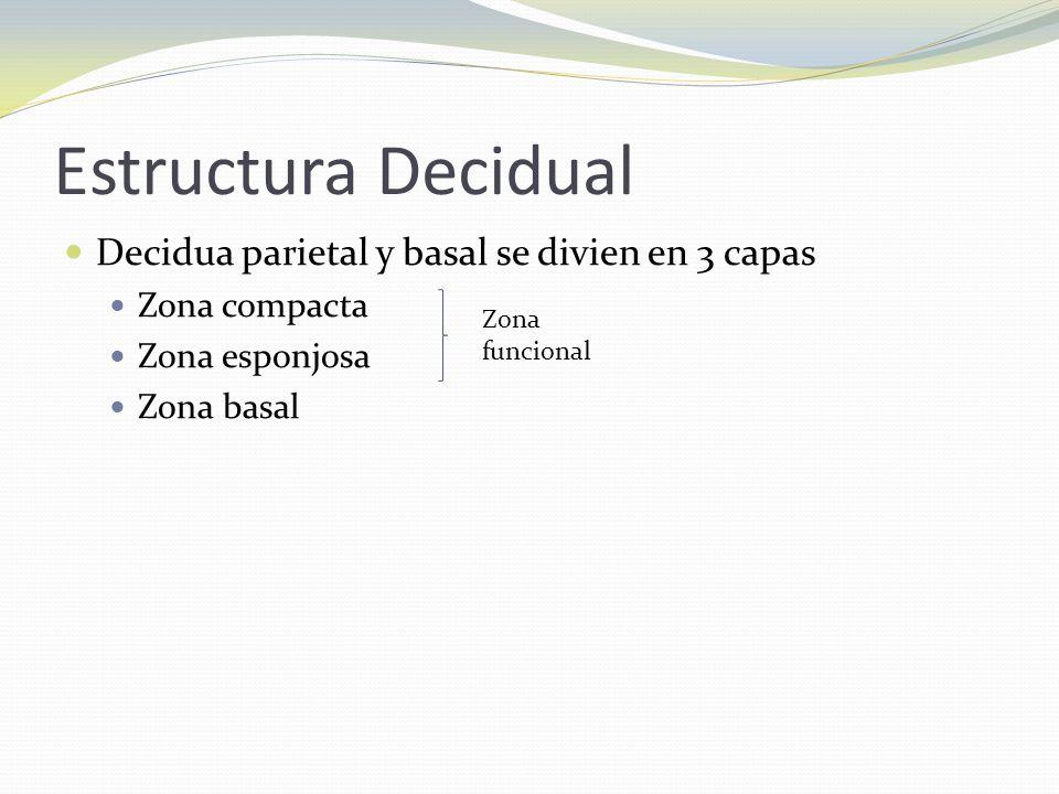 Estructura Decidual Decidua parietal y basal se divien en 3 capas