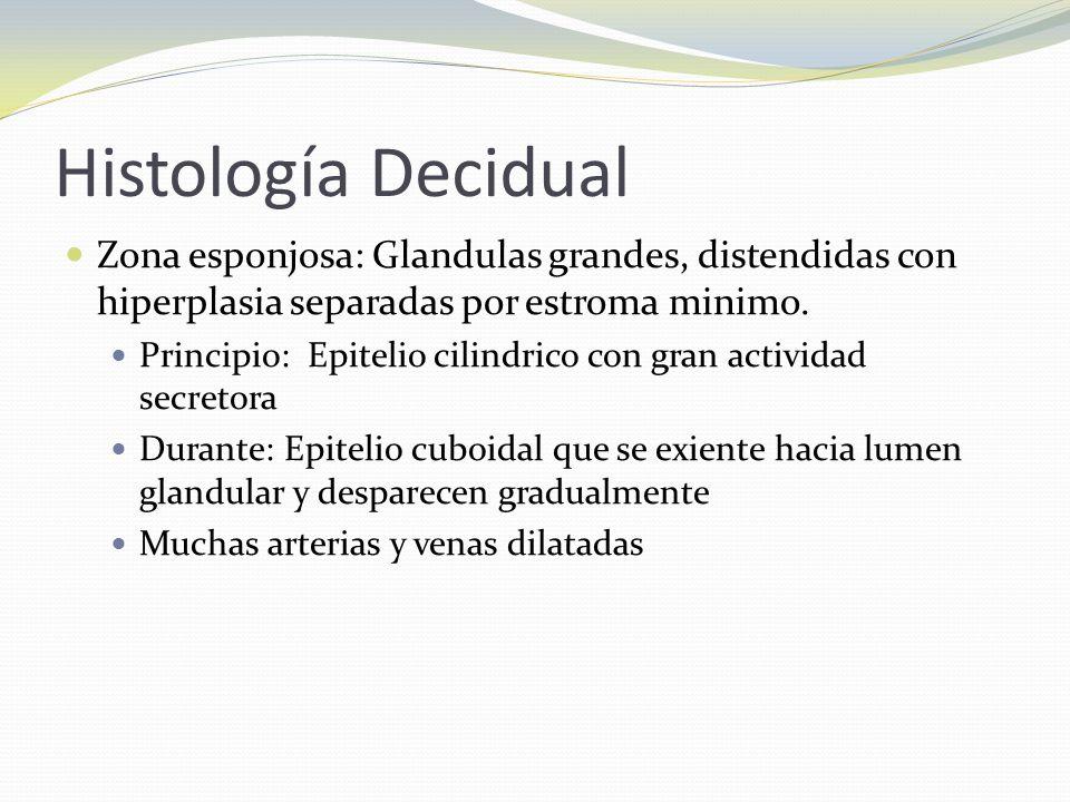 Histología Decidual Zona esponjosa: Glandulas grandes, distendidas con hiperplasia separadas por estroma minimo.