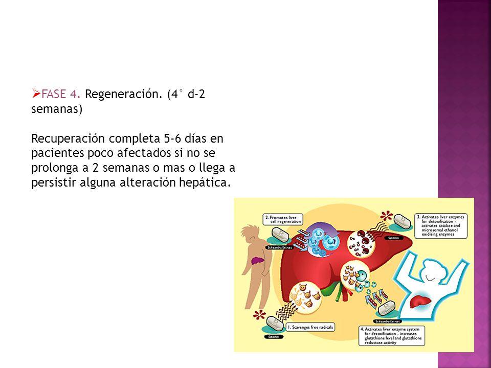 FASE 4. Regeneración. (4° d-2 semanas)