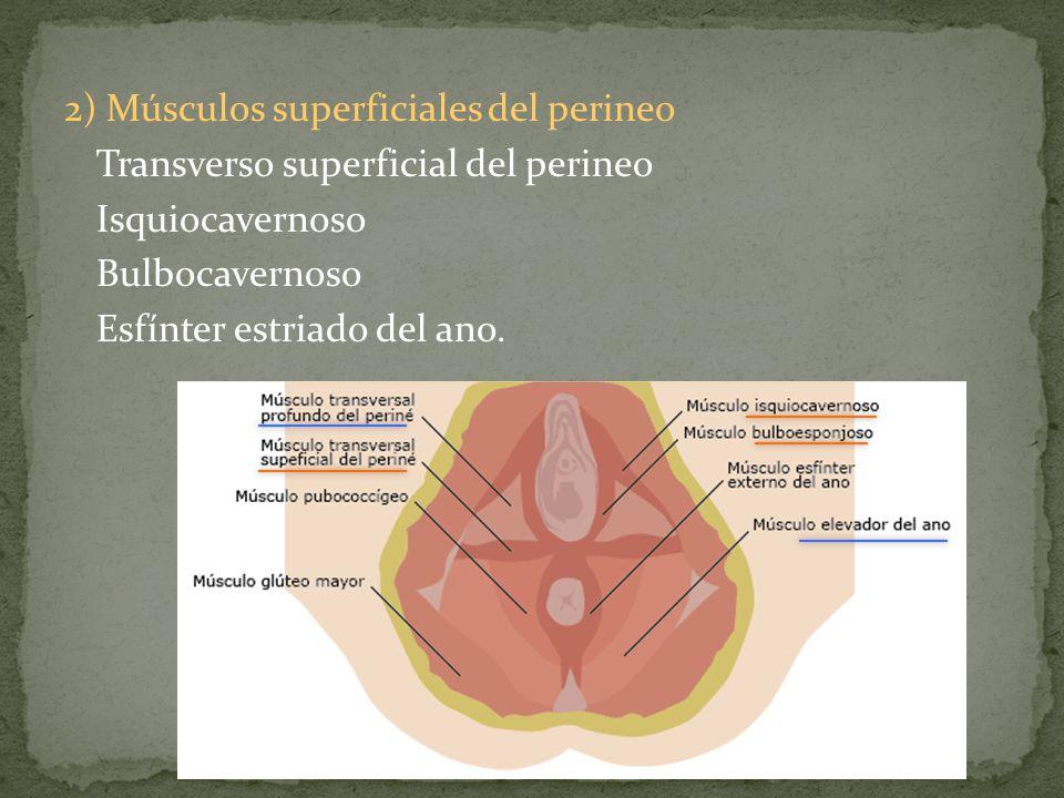 2) Músculos superficiales del perineo