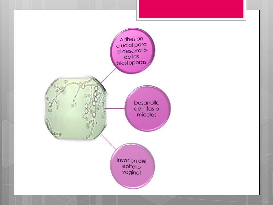 Adhesion crucial para el desarrollo de las blastoporas