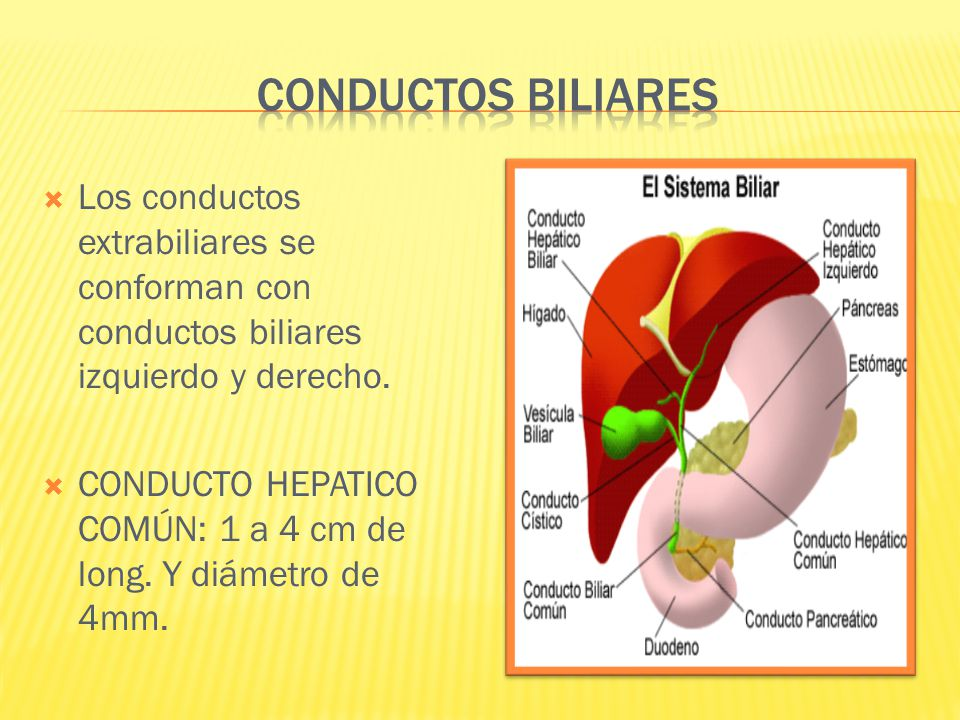 Conductos biliares Los conductos extrabiliares se conforman con conductos biliares izquierdo y derecho.