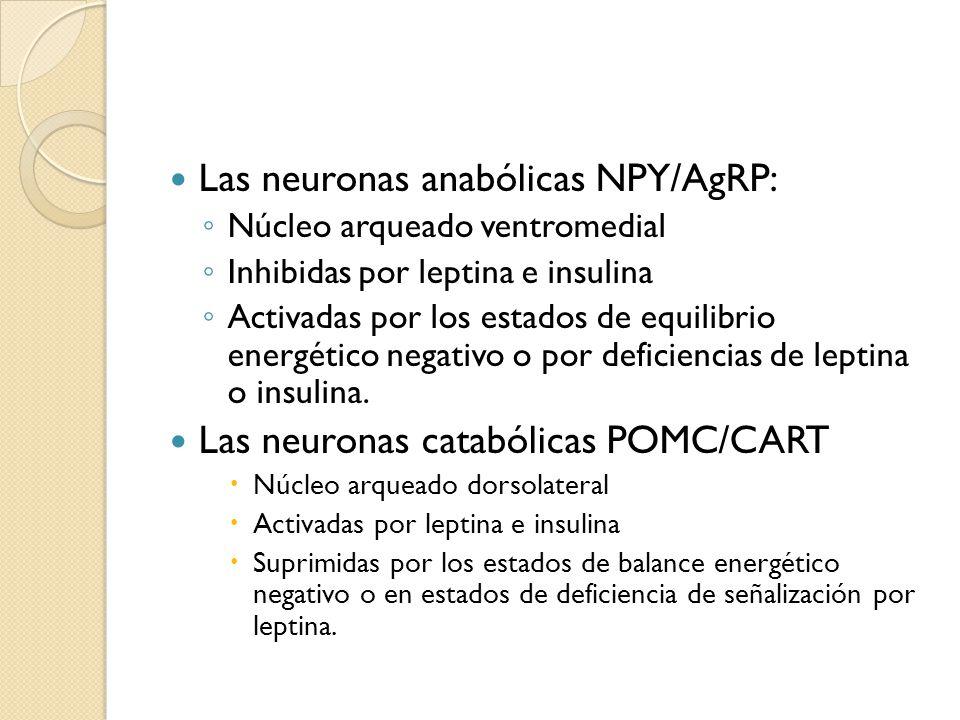 Las neuronas anabólicas NPY/AgRP: