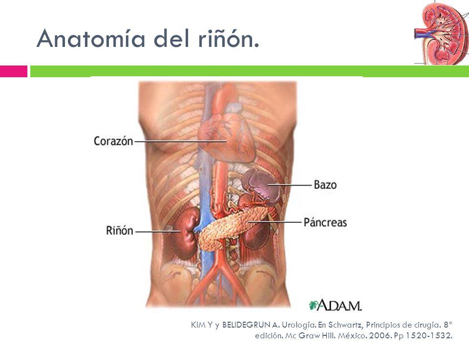 Magnífico Riñón Hígado Anatomía Composición - Anatomía de Las ...