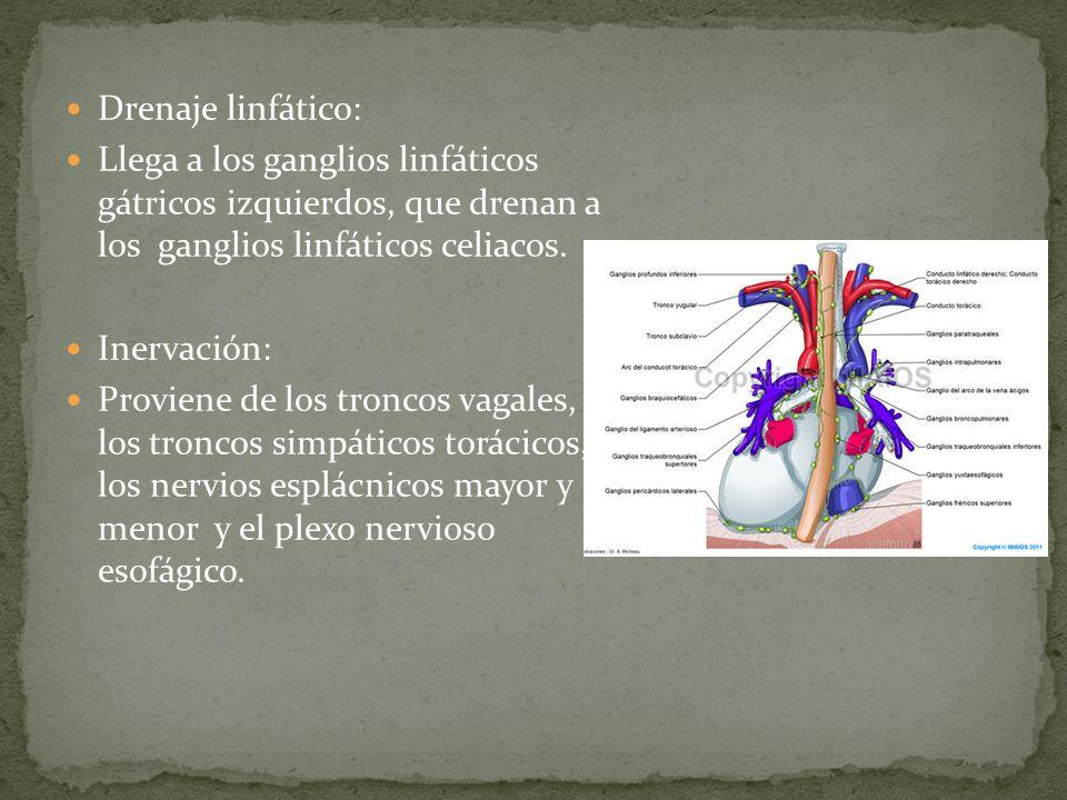 Drenaje linfático: Llega a los ganglios linfáticos gátricos izquierdos, que drenan a los ganglios linfáticos celiacos.