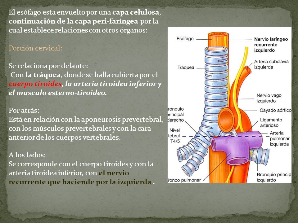 El esófago esta envuelto por una capa celulosa, continuación de la capa peri-faríngea por la cual establece relaciones con otros órganos: