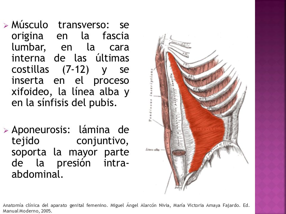 Músculo transverso: se origina en la fascia lumbar, en la cara interna de las últimas costillas (7-12) y se inserta en el proceso xifoideo, la línea alba y en la sínfisis del pubis.