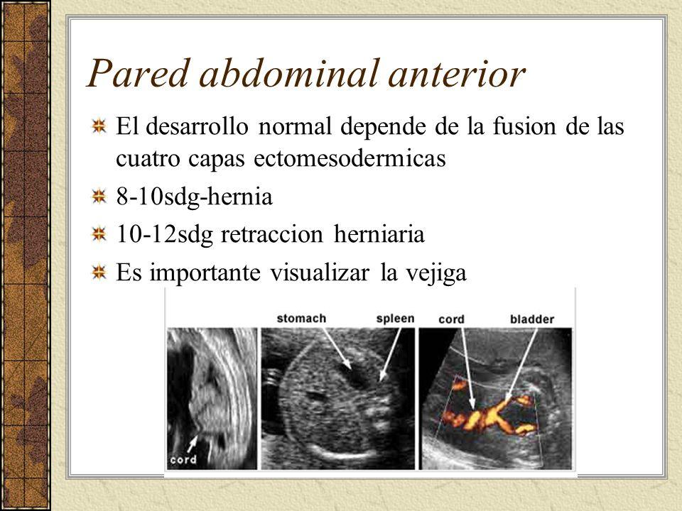 Pared abdominal anterior