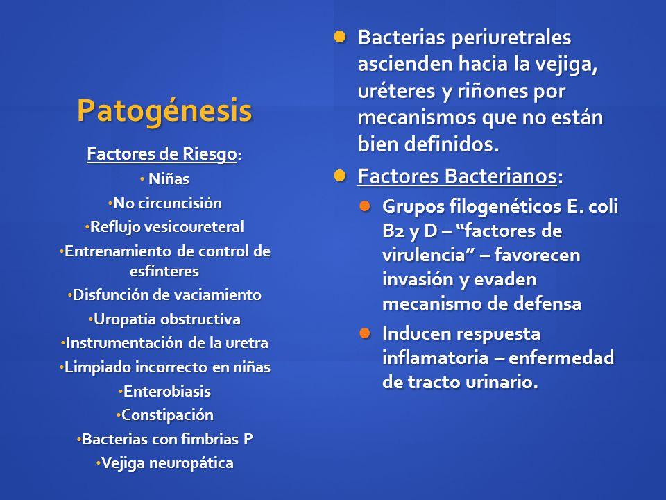 Bacterias periuretrales ascienden hacia la vejiga, uréteres y riñones por mecanismos que no están bien definidos.