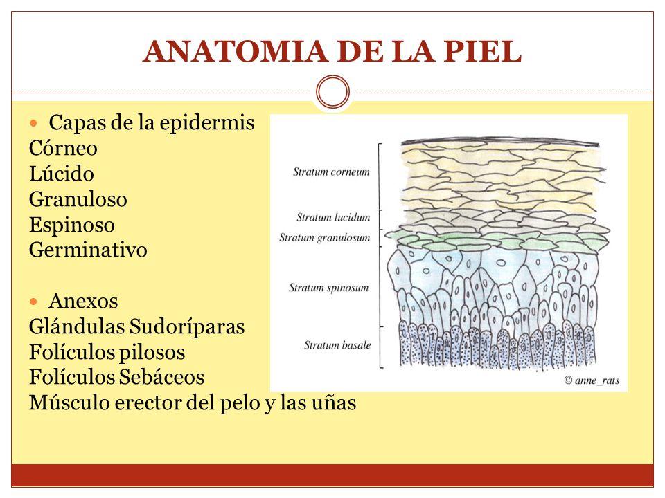 ANATOMIA DE LA PIEL Capas de la epidermis Córneo Lúcido Granuloso