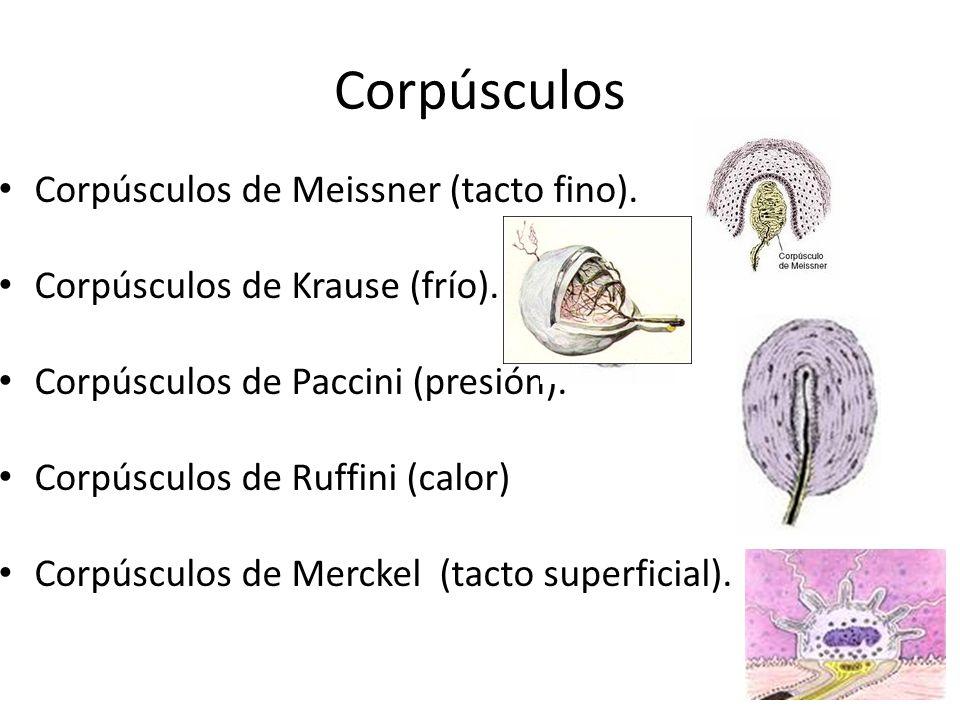 Corpúsculos Corpúsculos de Meissner (tacto fino).