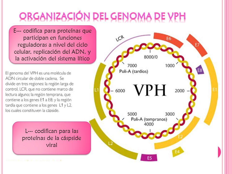 Organización del genoma de VPH