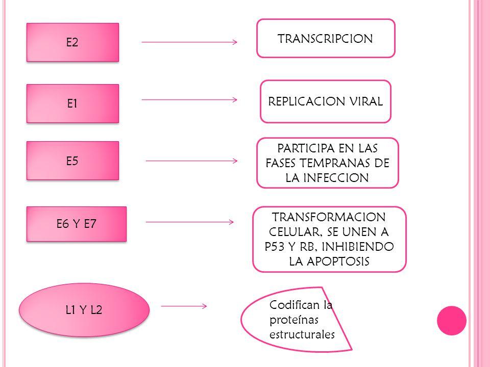 PARTICIPA EN LAS FASES TEMPRANAS DE LA INFECCION E5