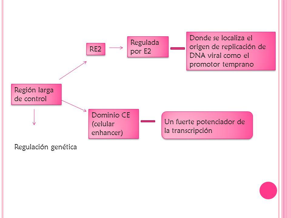 Donde se localiza el origen de replicación de DNA viral como el promotor temprano