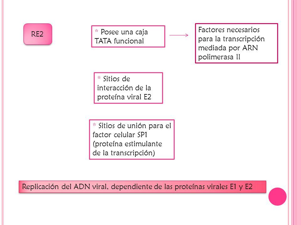 RE2 Factores necesarios para la transcripción mediada por ARN polimerasa II. * Posee una caja TATA funcional.