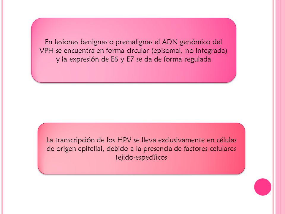 En lesiones benignas o premalignas el ADN genómico del VPH se encuentra en forma circular (episomal, no integrada) y la expresión de E6 y E7 se da de forma regulada