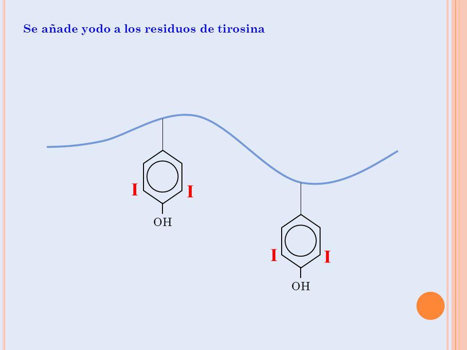 Se añade yodo a los residuos de tirosina