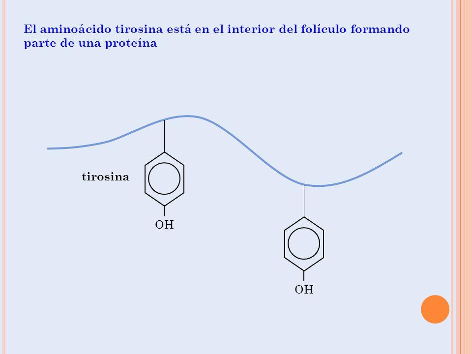 El aminoácido tirosina está en el interior del folículo formando parte de una proteína