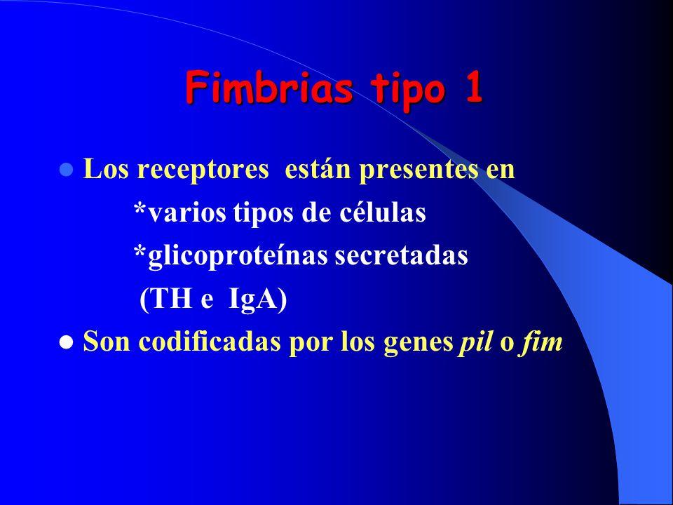 Fimbrias tipo 1 Los receptores están presentes en