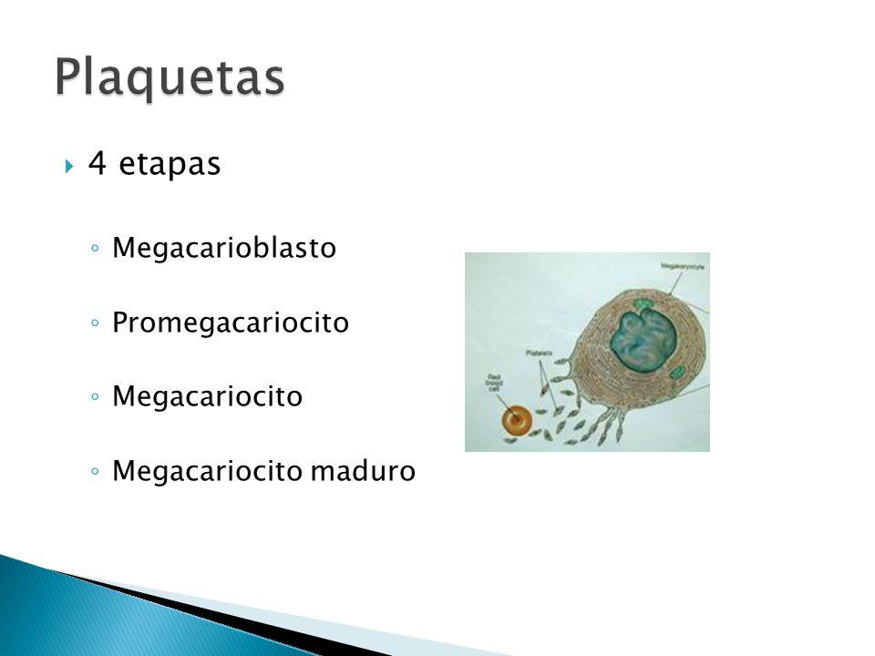 Plaquetas 4 etapas Megacarioblasto Promegacariocito Megacariocito