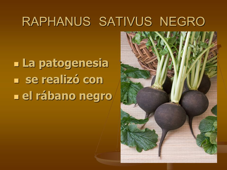 RAPHANUS SATIVUS NEGRO