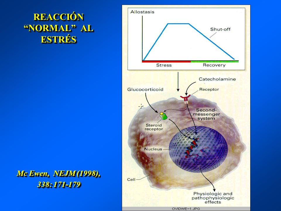 REACCIÓN NORMAL AL ESTRÉS Mc Ewen, NEJM (1998), 338: 171-179
