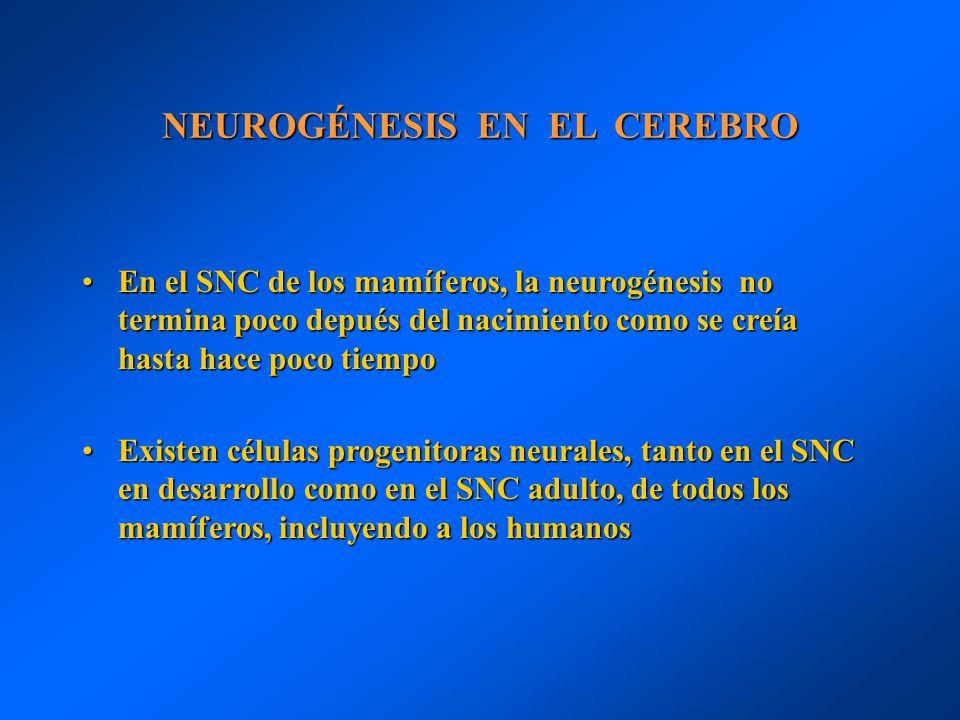NEUROGÉNESIS EN EL CEREBRO