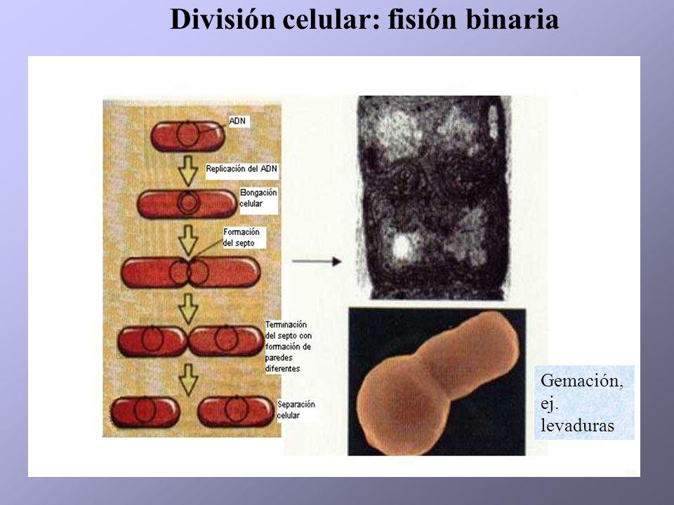 División celular: fisión binaria